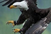 Eagles / Águilas