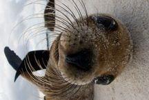 Seals / Focas
