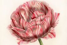 Drawing of tulips / I love the tulips in the botanical drawings. They look so elegant and beautiful.