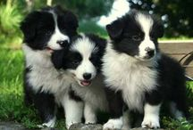 Border Collies / by Jerry Rogers