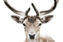 DEER // CERF // BICHE / Deer, cerf, biche, Stangle  #deer #cerf #biche #stangle