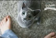Russian Blue Cats / Happiness in blue