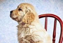 Golden Retriever / The greatest dog breed. Gentle, beautiful, smart and always ready to help. They love bread and cuddly plush.