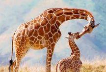 Giraffes / Żyrafy