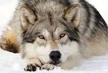 Animalia  :A Howl for The Pack /