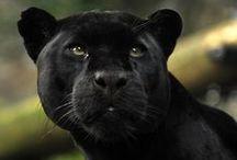 Jaguar ⓛ ⓞ ⓥ ⓔ