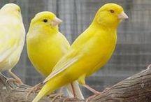 Canary ♥ ⓛ ⓞ ⓥ ⓔ ♥