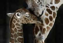 giraffes / by Dianne