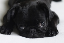 PUGS....and other cute animals / by Tracie Rivers