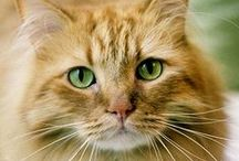 [Cats] Ginger Cats / Beautiful orange and marmalade cats - for Amber.