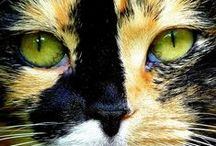 [Cats] Torties & Calicos / Remembering Angel Polly - celebrating tortoiseshell and calico cats.