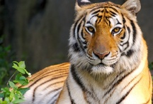 Tigers / by Nancy Bull