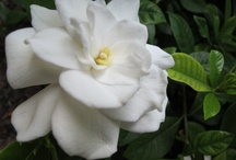 Gardenia jasminoides / Gardenia jasminoides is an evergreen flowering plant of the family Rubiaceae. It originated in Asia and is most commonly found growing wild in Vietnam, Southern China, Taiwan, Japan and India. (Wikipedia)