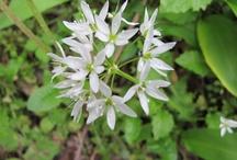 Alium ursinum / Ramsons, Buckrams, Wild Garlic, Broad-leaved Garlic, Wood Garlic, Bear Leek, Bear's Garlic / Aglio Orsino