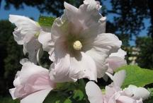 Althea rosea