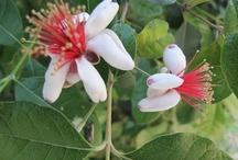 Feijoia sellowiana