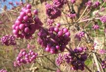Callicarpa bodineri / Beautyberry / Callicarpa