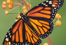 Buttertflies / by Nancy Bull