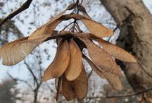 Acer pseudoplatanus / Acero di Monte. Sycamore Maple.