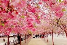 Cherry Blossom I Love