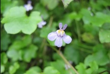 Cymbalaria muralis / Ivy-leaved Toadflax, Kenilworth Ivy / Ciombolino Comune