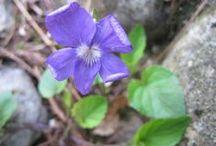Viola canina (new) / Viola selvatica. Heath dog-violet. Heath violet.