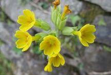 Primula veris (new) / Primula odorosa. Primula di Colonna. Cowslip. Common cowslip.