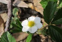 Fragaria vesca (new) / Fragola di bosco. Woodland strawberry.