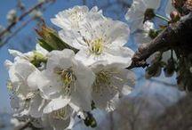 Prunus avium (new) / Ciliegio. Wild cherry. Sweet cherry. Bird cherry.