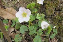 Oxalis acetosella (new) / Acetosella dei boschi. Wood sorrel. Common wood sorrel