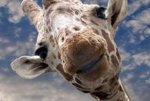Tall Blondes / The lovely, lanky giraffe in all its glory / by Debbie Freeman