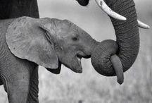 Elefantes / animales