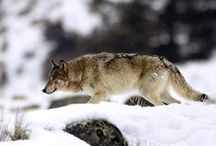 Wolves <3 / Majestic, beautiful wolves.