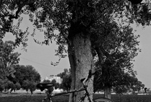 Ulivi del Sud / Antica terra sudore tra le zolle Ombra d'ulivo Di Cresy Crescenza Caradonna