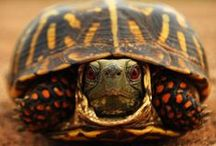 Turtles & Tortoises are VERY slow! / Since 1970 we (I) have had up to 29 (26 babies) California Desert tortoises back when it was still legal to have them.  We have had batches of tortoise eggs laid (they look like ping pong balls) .  They love to eat melons (incl. rinds), romaine lettuce (other lettuces have no nutritional value), snails, dandelions, berries, rose & hibiscus flowers.  They will attempt to escape for ANY enclosure.  They will even dig in order to give themselves an escape route. / by Shelley Drnek