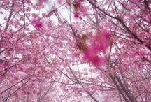 Sakura / by Reine-Marie PINCHON