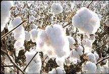 Those Cotton Fields of Home