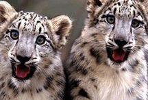 Big Cats / My obsession <3 love them