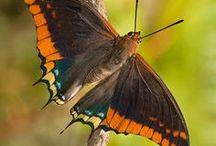 Butterflies / Do You Like Butterflies?