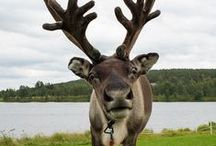 Reindeer attitude / Learning from reindeers the life outdoors in the north