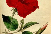 Flowers illustrations (I)