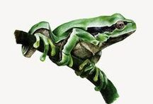 Frog illustrations / Frog illustrations