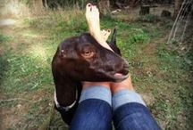 Goats / I've been raising goats for over a decade.  They give me lots of joy, affection and milk for cheese and soap making.