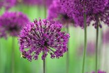 ALLIUMS / The generic name Allium is the Latin word for garlic, and Linnaeus first described the genus Allium in 1753. The cooking and consumption of parts of the plants is due to the large variety of flavours and textures of the species. Various Allium have been cultivated from the earliest times and about a dozen species are economically important as crops, or garden vegetables, and an increasing number of species are important as ornamental plants. (Wikipedia)