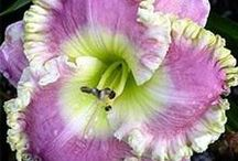 DAYLILIES / Daylilies grow from thick, tuberous roots that are easily divided. Daylilies are popular with hybridizers and there are over 30,000 named varieties. Foliage: The leaves are a dead giveaway as to which plant you have. Daylilies have long, flat strap-shaped blades that grow in clumps from the crown of the plant, at the soil line. Daylilies grow from about 1' high up to 4'.