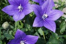 """CAMPANULA (Bellflowers) / Campanula is one of several genera in the family Campanulaceae with the common name bellflower. It takes both its common and its scientific name from its bell-shaped flowers—campanula is Latin for """"little bell"""". Wikipedia"""