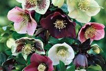 HELLEBORUS / Commonly known as hellebores, the Eurasian genus Helleborus comprises approximately 20 species of herbaceous or evergreen perennial flowering plants in the family Ranunculaceae, within which it gave its name to the tribe of Helleboreae. Wikipedia