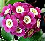 PRIMULAS / Primula is a genus of mainly herbaceous flowering plants in the family Primulaceae. They include the familiar wildflower of banks and verges, the primrose. Other common species are P. auricula, P. veris and P. elatior. Wikipedia