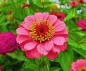 ZINNIAS / Zinnia is a genus of plants of the sunflower tribe within the daisy family. They are native to scrub and dry grassland in an area stretching from the Southwestern United States to South America, with a centre of diversity in Mexico. Wikipedia