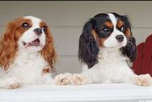 Furbabies!! / I have two King Charles cavaliers, They are my world! / by Lindsey Green